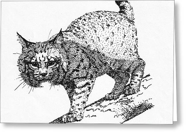 Bobcats Drawings Greeting Cards - Bobcat in a Shadow Greeting Card by Suzanne McKee