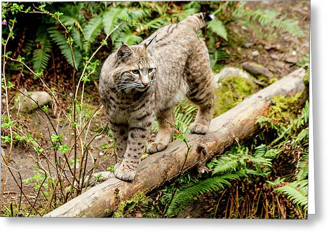 Bobcat In Forest Greeting Card by Teri Virbickis