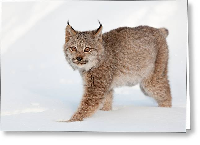 Bobcats Greeting Cards - Bobcat in the Snow Greeting Card by Sandy Brooks