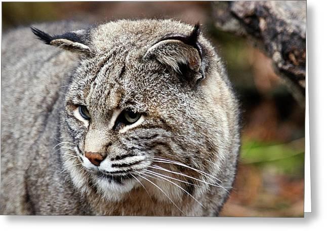 Bobcat Photographs Greeting Cards - Bobcat Greeting Card by Jim DeLillo