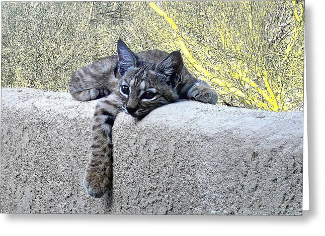 Bobcats Photographs Greeting Cards - Bobcat Kitten At Ease Greeting Card by Bonnie See