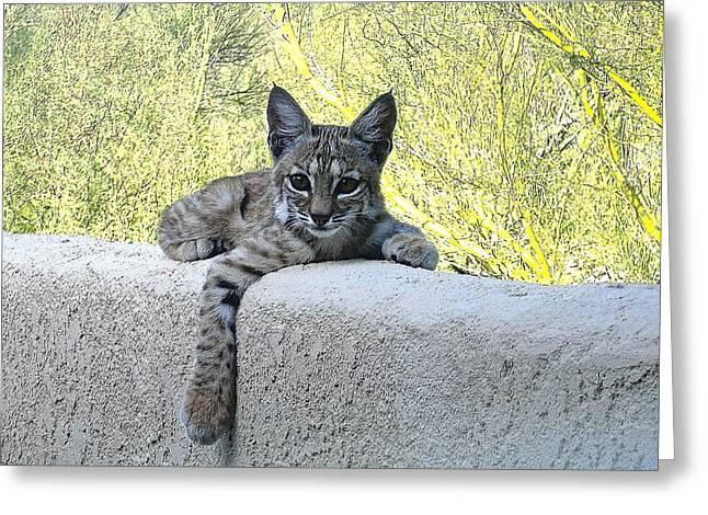 Bobcats Photographs Greeting Cards - Bobcat Kitten Heads Up Greeting Card by Bonnie See