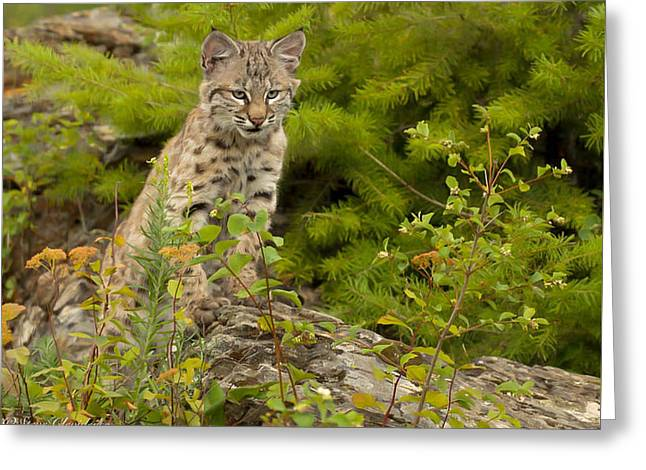 Bobcats Photographs Greeting Cards - BobCat Kitten Sentinel  Greeting Card by Steven Clevidence