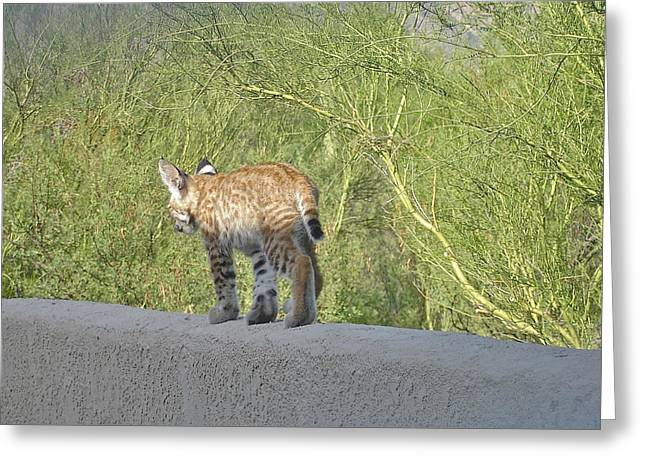 Bobcats Photographs Greeting Cards - Bobcat Kitten Time to Go Greeting Card by Bonnie See