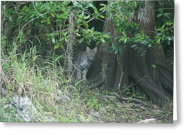 Bobcats Photographs Greeting Cards - Bobcat Greeting Card by Lindsey Floyd