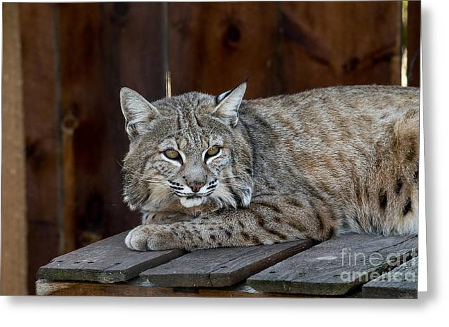 Bobcats Photographs Greeting Cards - Bobcat linx powerful cat fierce Greeting Card by Michael Bennett