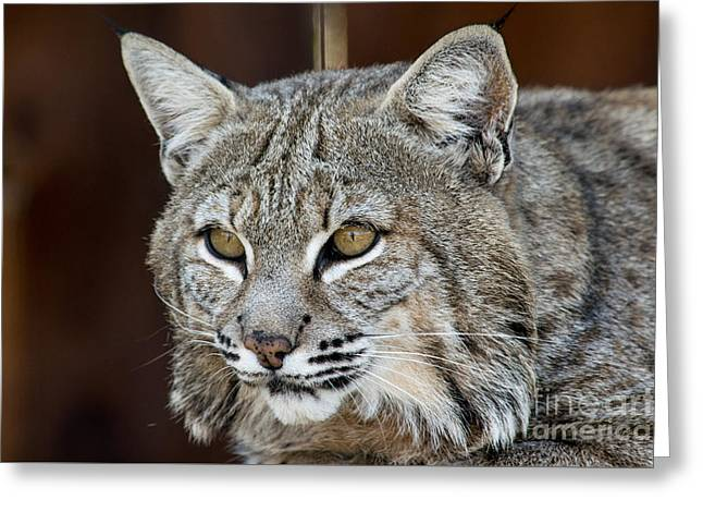 Bobcats Photographs Greeting Cards - Bobcat linx powerful cat Greeting Card by Michael Bennett