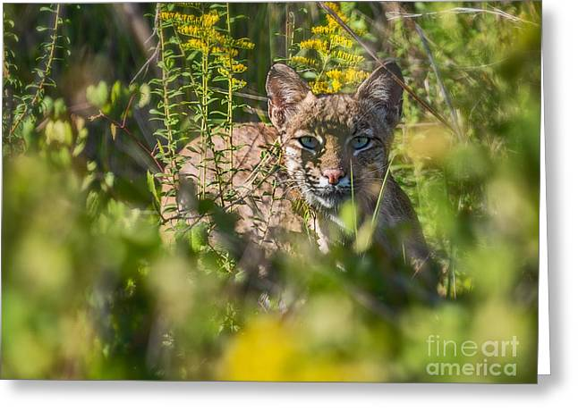 Lynx Rufus Greeting Cards - Bobcat Lynx In Hiding  Greeting Card by Anne Kitzman