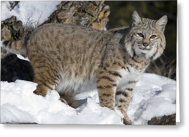 Best Sellers -  - Bobcats Photographs Greeting Cards - Bobcat Lynx Rufus In The Snow Greeting Card by Matthias Breiter