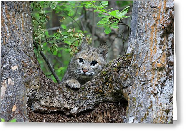 Bobcat Lynx Rufus Greeting Card by Louise Heusinkveld