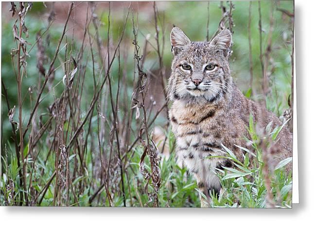 Bobcats Photographs Greeting Cards - Bobcat Greeting Card by Max Waugh