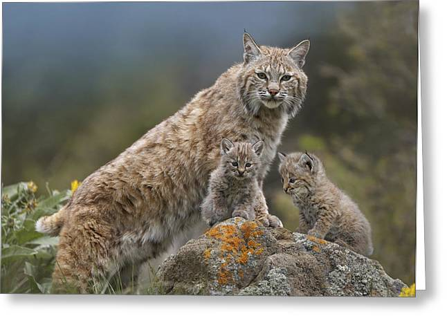 Felines Photographs Greeting Cards - Bobcat Mother And Kittens North America Greeting Card by Tim Fitzharris
