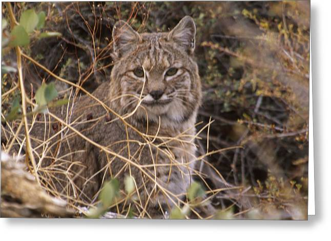 Bobcats Photographs Greeting Cards - Bobcat - Mount Shasta Greeting Card by Soli Deo Gloria Wilderness And Wildlife Photography
