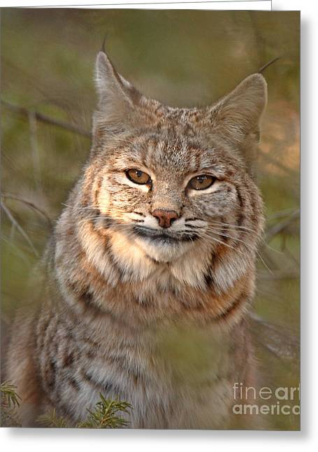 Bobcats Greeting Cards - Bobcat Portrait Surrounded By Pine Greeting Card by Max Allen