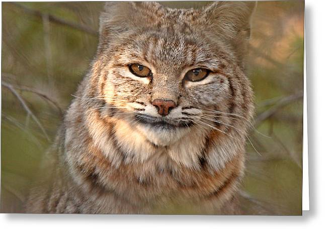 Bobcat Portrait Surrounded By Pine Greeting Card by Max Allen