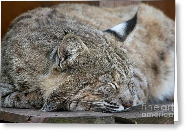 Bobcats Photographs Greeting Cards - Bobcat resting linx powerful Greeting Card by Michael Bennett