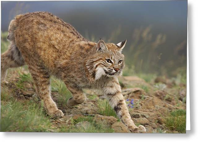 Best Sellers -  - Bobcats Photographs Greeting Cards - Bobcat Stalking North America Greeting Card by Tim Fitzharris
