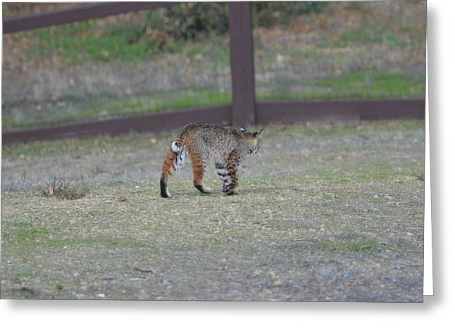 Bobcats Photographs Greeting Cards - Bobcat takes his time Greeting Card by Jeff Chase