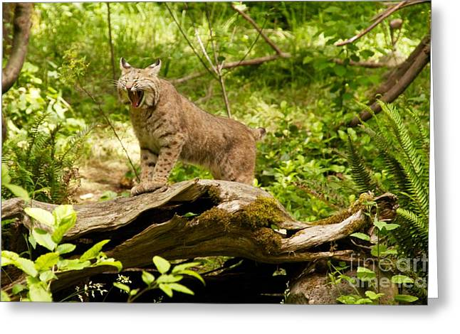 Bobcats Greeting Cards - Bobcat Yawn Greeting Card by Sean Griffin
