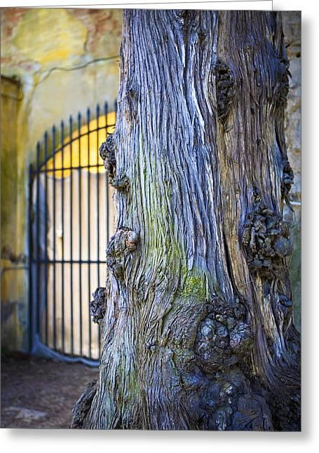 Boboli Greeting Cards - Boboli Garden Ancient Tree Greeting Card by Marilyn Hunt