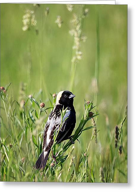 Bobolink At Home Greeting Card by Bill Wakeley