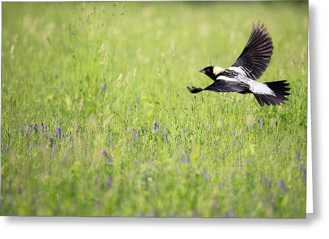 Migratory Bird Greeting Cards - Bobolink in Flight Greeting Card by Bill Wakeley