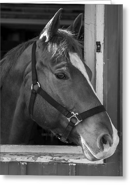 Galloper Greeting Cards - Bode 15061b Greeting Card by Guy Whiteley