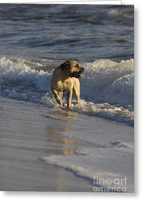 Guard Dog Greeting Cards - Boerboel Mastiff Greeting Card by Jean-Louis Klein & Marie-Luce Hubert