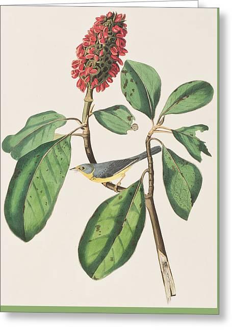 Flycatcher Greeting Cards - Bonapartes Flycatcher Greeting Card by John James Audubon