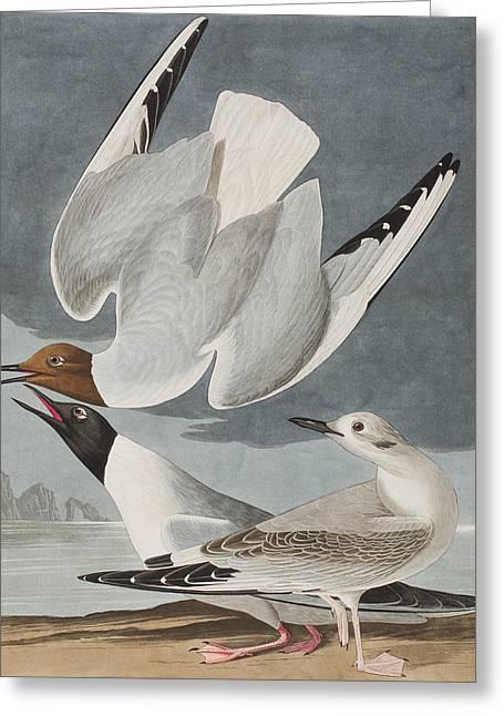 Flying Animal Drawings Greeting Cards - Bonapartian Gull Greeting Card by John James Audubon