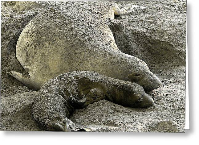 Elephant Seals Greeting Cards - Bonding Greeting Card by Parrish Todd