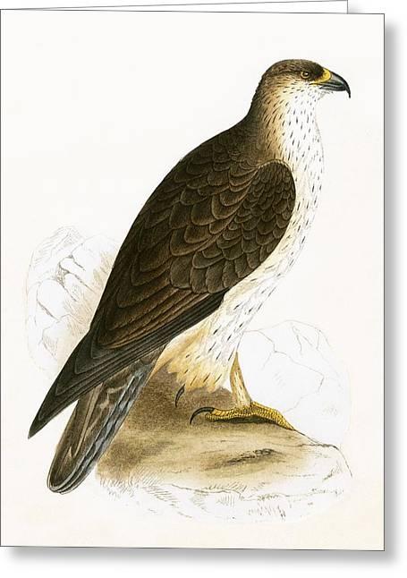 Bonelli's Eagle Greeting Card by English School