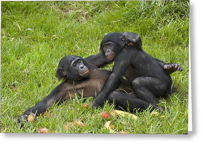 Chimpanzee Photographs Greeting Cards - Bonobo Apes Mating Greeting Card by Tony Camacho