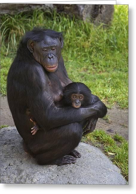 Emoting Greeting Cards - Bonobo Pan Paniscus Mother Cradling Greeting Card by San Diego Zoo