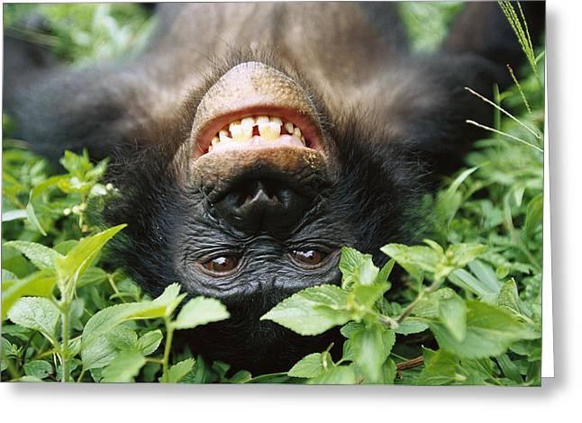 Emoting Greeting Cards - Bonobo Pan Paniscus Smiling Greeting Card by Cyril Ruoso