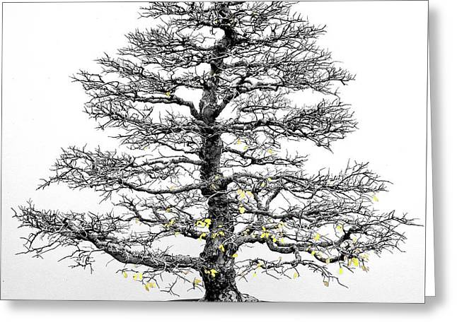 Bonsai Elm Tree - Canberra - Australia Greeting Card by Steven Ralser