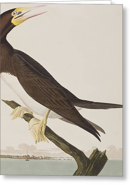 Booby Gannet   Greeting Card by John James Audubon
