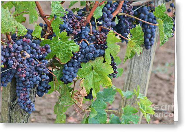 Grape Vineyard Greeting Cards - Bordeaux Vineyard Greeting Card by Caitlin Rodgers