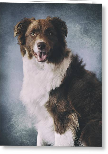 Working Dog Greeting Cards - Border Collie Portrait Greeting Card by Wolf Shadow  Photography