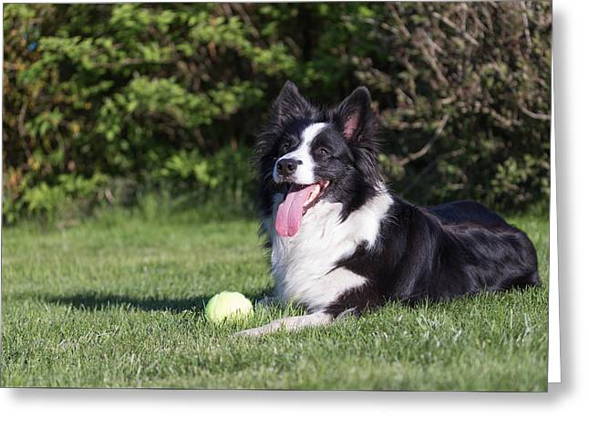 Toy Dog Greeting Cards - Border collie with yellow ball  Greeting Card by Jaroslav Frank