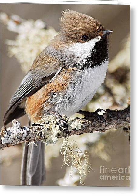 Larry Ricker Greeting Cards - Boreal Chickadee Greeting Card by Larry Ricker