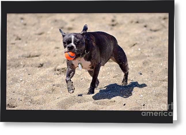 Boston Terrier Greeting Cards Greeting Cards - Boston Terrier Beach Day  Greeting Card by Turtle Shoaf