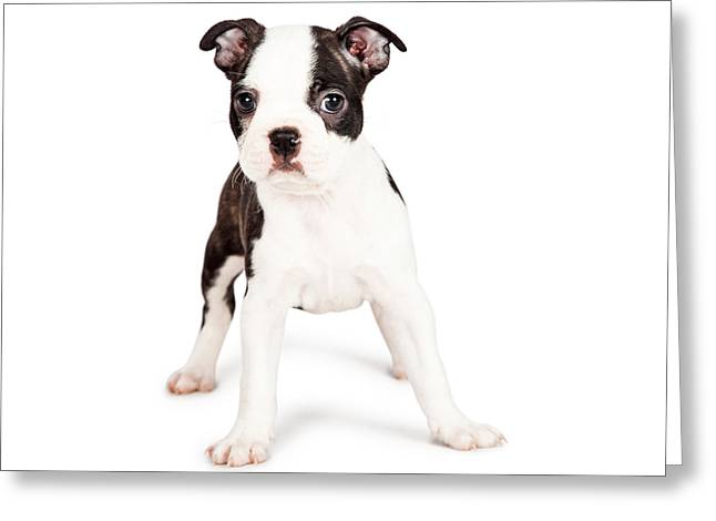 Small Forward Greeting Cards - Boston Terrier Puppy Looking at the Camera Greeting Card by Susan  Schmitz