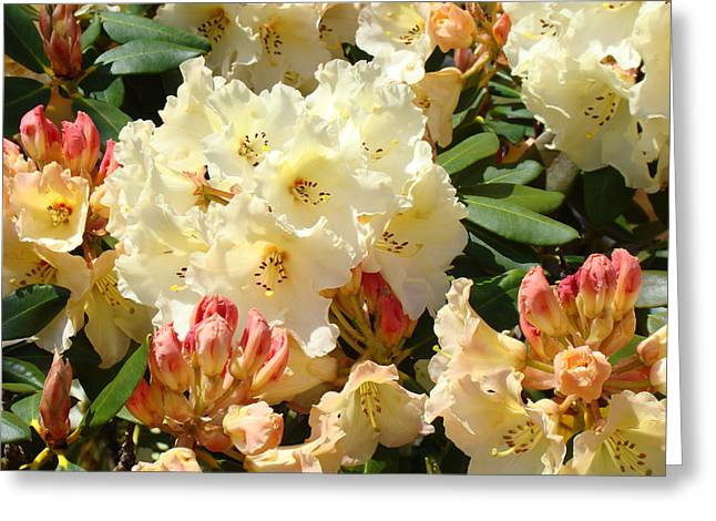 Rhodie Greeting Cards - Botanical Garden Rhodies Sunlit Yellow Pink Rhododendrons Greeting Card by Baslee Troutman