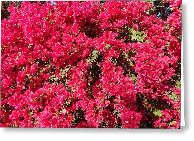 Bougainvillas 2 Greeting Card by Ron Kandt