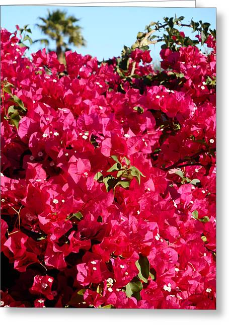 Bougainvillas 4 Greeting Card by Ron Kandt