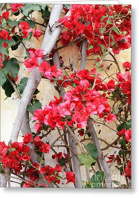 Bougainvillea Greeting Card by Carol Groenen