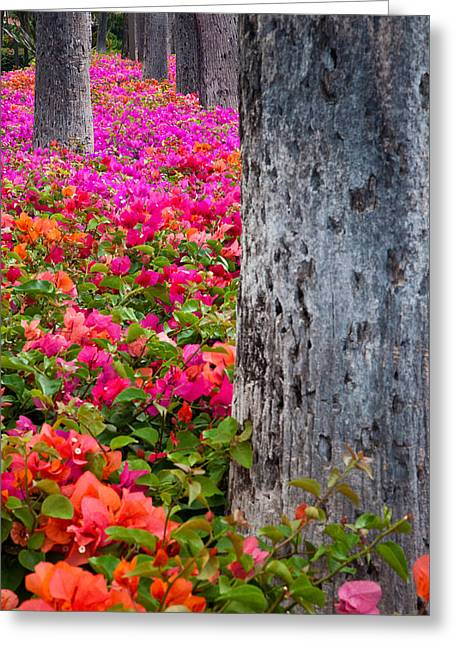 Nyctaginaceae Greeting Cards - Bougainvillea Forever Greeting Card by Eggers   Photography
