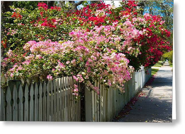 Nyctaginaceae Greeting Cards - Bougainvillea in old Eau Gallie Florida Greeting Card by Allan  Hughes