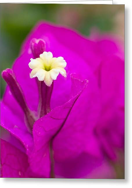 Bougainvillea Greeting Card by Penny Meyers